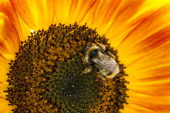 Abejorro en una flor de un girasol Fotografía de archivo