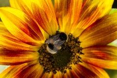 Abejorro en una flor de un girasol Fotografía de archivo libre de regalías