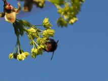 Abejorro en una flor de un ?rbol de arce en primavera imágenes de archivo libres de regalías