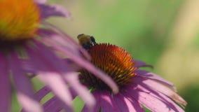 Abejorro en una flor del Echinacea metrajes