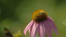 Abejorro en una flor del Echinacea almacen de metraje de vídeo