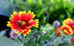 Abejorro en una flor del gaillardia Imágenes de archivo libres de regalías