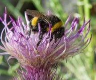 Abejorro en una flor del verano Imagen de archivo