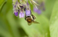 Abejorro en una flor Macro Imagenes de archivo