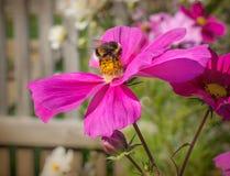 Abejorro en una flor rosada Imagenes de archivo