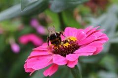 Abejorro en una flor rosada Fotos de archivo libres de regalías