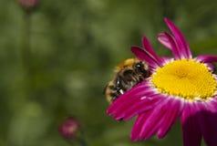 Abejorro en una flor rosada brillante Fotografía de archivo libre de regalías