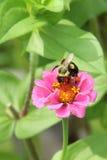 Abejorro en una flor rosada del Zinnia imagenes de archivo