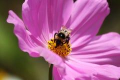 Abejorro en una flor violeta Foto de archivo libre de regalías