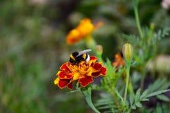 Abejorro en una macro de la maravilla de la flor Imagen de archivo libre de regalías