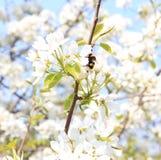 Abejorro en una rama de los manzanos florecientes Foto de archivo libre de regalías