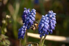 Abejorro en una situación azul del jacinto de uva en mi Garde foto de archivo