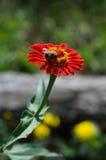 Abejorro en zinnias de una flor del rojo Fotos de archivo
