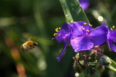 Abejorro Flor del verano Imagen de archivo