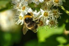 Abejorro Flor del verano Imagen de archivo libre de regalías
