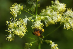 Abejorro Flor del verano Imagenes de archivo