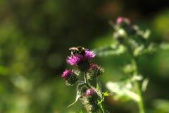 Abejorro Flor del verano Fotografía de archivo libre de regalías