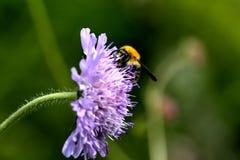 Abejorro Flor del verano Imágenes de archivo libres de regalías
