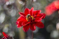 Abejorro grande del jardín y x28; Ruderatus& x29 del Bombus; en una flor roja Imagen de archivo