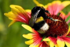Abejorro grande en la flor amarilla roja Imágenes de archivo libres de regalías