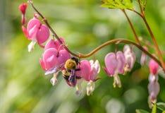 Abejorro grande en las flores en forma de corazón rosadas Imágenes de archivo libres de regalías