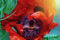 Abejorro lanudo dentro de la flor de una planta de la amapola Foto de archivo