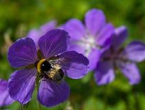 Abejorro lanudo en una flor de la montaña Foto de archivo