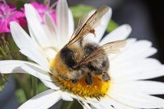 """Abejorro lanudo grande el néctar de recogida macro del †de la manzanilla """" Foto de archivo"""