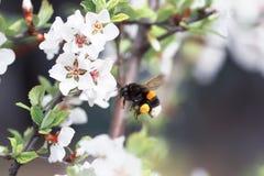 Abejorro lanudo que circunda y que vuela sobre un manzano floreciente Foto de archivo libre de regalías