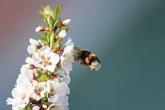 Abejorro lanudo que circunda y que vuela sobre un manzano floreciente Imagen de archivo libre de regalías