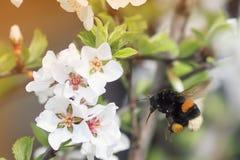 Abejorro lanudo que circunda y que vuela sobre un manzano floreciente Imagen de archivo