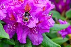 Abejorro macro en una flor Fotos de archivo libres de regalías