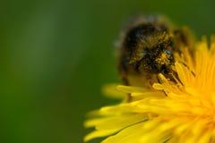 Abejorro melenudo con polen Fotografía de archivo
