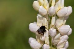 Abejorro negro en un día de primavera en una flor que recoge el polen Foto de archivo