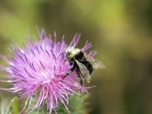 Abejorro negro y amarillo en el primer de la flor Imagen de archivo libre de regalías
