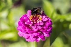 abejorro piel de ante-atado y x28; Terrestris& x29 del Bombus; en una flor rosada Imagen de archivo libre de regalías