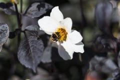 abejorro piel de ante-atado y x28; Terrestris& x29 del Bombus; en una flor blanca Imágenes de archivo libres de regalías
