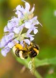 Abejorro por completo del polen Imagen de archivo