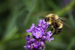 Abejorro que alimenta en las flores de la lavanda Imagen de archivo libre de regalías