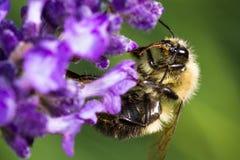 Abejorro que alimenta en las flores de la lavanda Imágenes de archivo libres de regalías