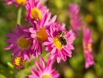Abejorro que alimenta en las flores rosadas brillantes del crisantemo Imagen de archivo