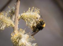 Abejorro que alimenta en los flores del sauce en primavera Fotografía de archivo