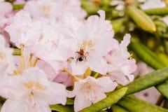 Abejorro que alimenta en un néctar del rododendro Rododendro en jardín Flores del verano Estación de azaleas florecientes Imagen de archivo
