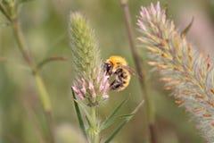 Abejorro que aspira el polen Imagenes de archivo