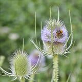 Abejorro que aspira el polen Fotografía de archivo libre de regalías