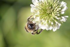 Abejorro que aspira el polen Imagen de archivo libre de regalías