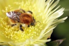 Abejorro que aspira el polen Fotos de archivo libres de regalías