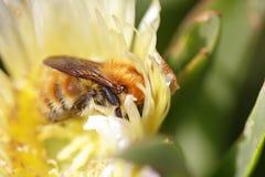Abejorro que aspira el polen Foto de archivo