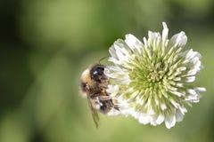 Abejorro que aspira el polen Fotos de archivo