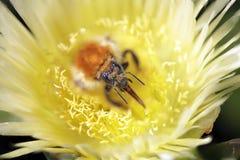 Abejorro que aspira el polen Imágenes de archivo libres de regalías